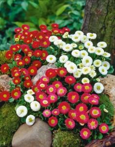 Как посадить маргаритки в саду,