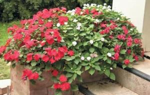 Бальзамин садовый: правила посадки и ухода