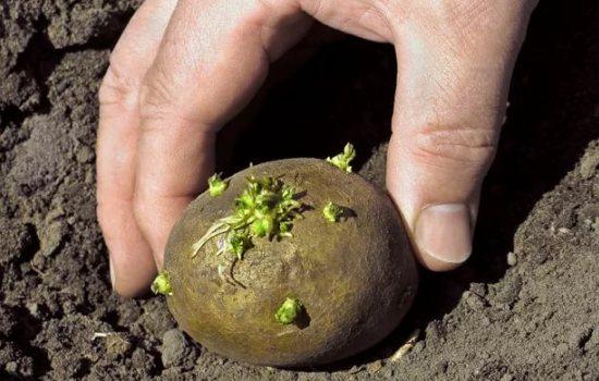 Посадка картофеля клубнями на приусадебном участке