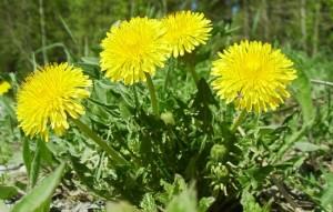 Как применять цветы одуванчика? Какие лечебные свойства есть у цветов одуванчика и есть ли противопоказания