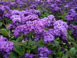 Как посадить гелиотроп – «следующий за солнцем». Все о посадке гелиотропа и уходе в открытом грунте за этим ароматным садовым растением