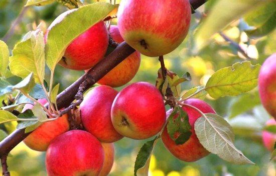 Самые распространенные болезни яблонь: с описанием. Все способы борьбы с болезнями на яблонях: народные и научные