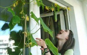 Как правильно выращивать огурцы в домашних условиях. Посадка и уход за комнатными огурцами, подкормки, освещение, полив