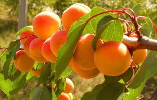 Абрикос «Триумф Северный»: характеристики сорта, описание и регионы выращивания. Посадка абрикоса, выбор саженца «Триумф северный», размножение сорта