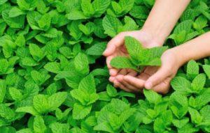 Удивительная польза мяты для мужчин: угости любимого мятным чаем! Внимание: что нужно знать о вреде мяты для здоровья мужчины
